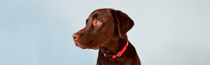Een bruine labrador