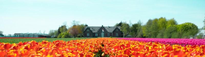 Tulpenveld met gebouw in de achtergrond